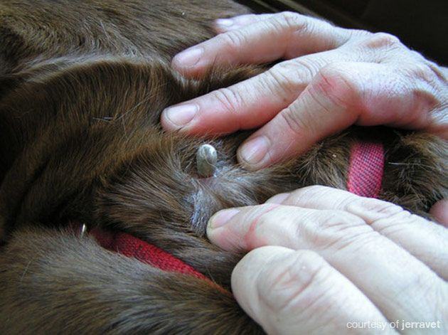 This week news outlets all over the country reported about aPortland-area Shetland sheep dog named Ollie that was on the verge of beingeuthanizeddue to his failing health and paralysis. Fortunately, after a student veterinarian found and removed a tick behind his ear, the Ollie was fully mobile in about 10 hour after it was removed …