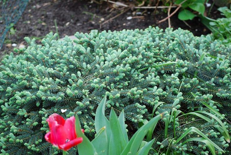 Picea pungens Sonia. Kommer i juli. Polsk lågväxande blå silvrig gran. Långsamväxande. Blir med tiden 0,7 m hög, växer 3-6 cm/år. Jord: lätta, näringsrika jordar. Soligt läge.