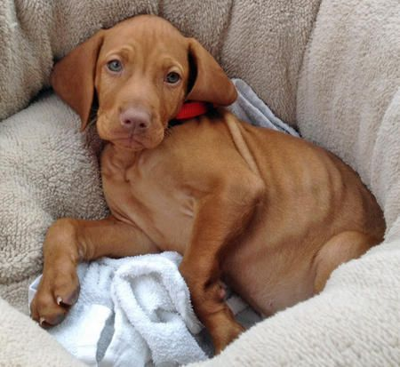"""Charlie the Vizsla - what my sweet """"little"""" Cass used to look like. :) Can't stay puppies forever :("""