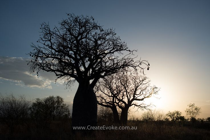 Boab trees at sunset #silhouette #kimberley #westernaustralia