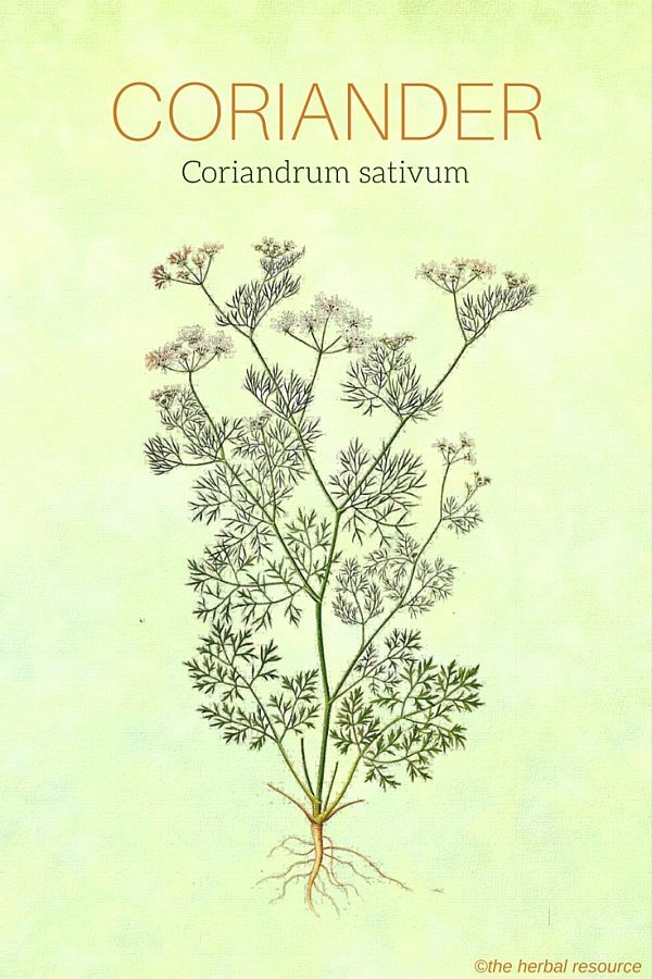 The Medicinal Herb Coriander - benefits and side effects