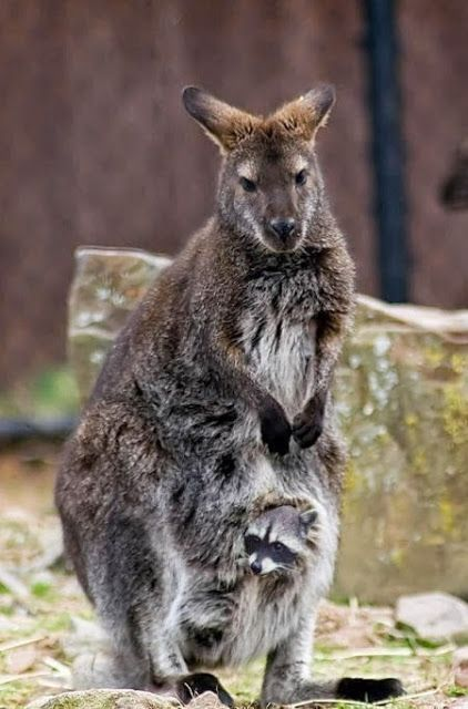 Funny Kangaroos And Little Baby Raccoon? Did somebody go home to the wrong house?: