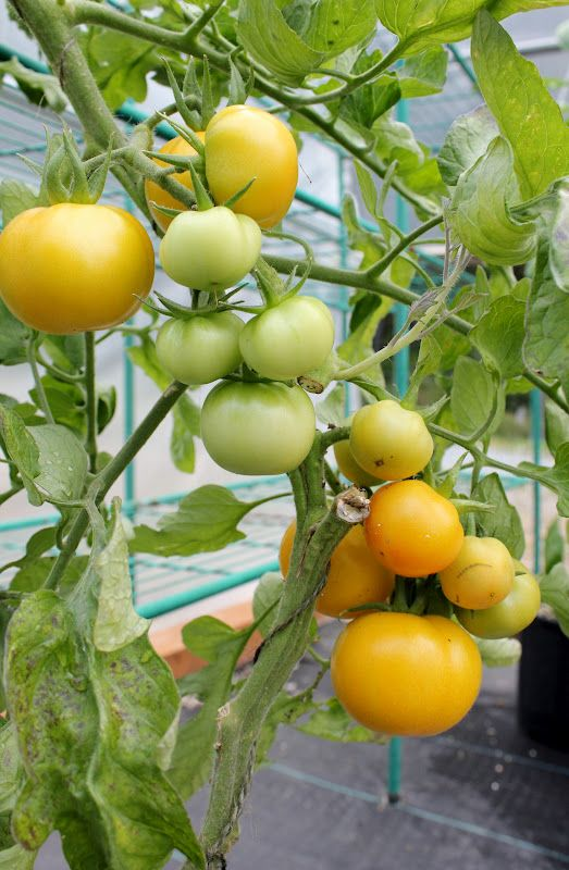 1000 images about Tomato varieties on Pinterest Tomato seeds