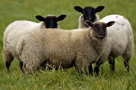 La tonte des moutons aux JO, la Nouvelle-Zélande en rêve