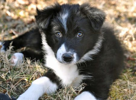 looks sorta like my breebree but she is a minutare austrailan shepard! I love her so much ! And she has 2 different colored eyes!