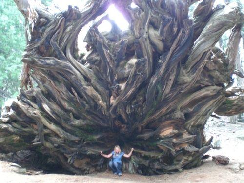 Fallen Tree in Sequoia National Park, California
