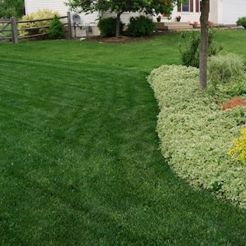how to keep fescue green in summer