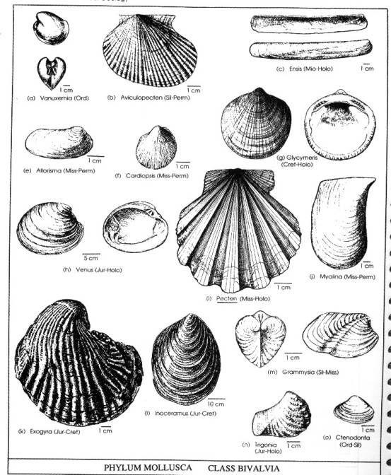 10 Best Phylum Mollusca Images On Pinterest Sea Slug Under The