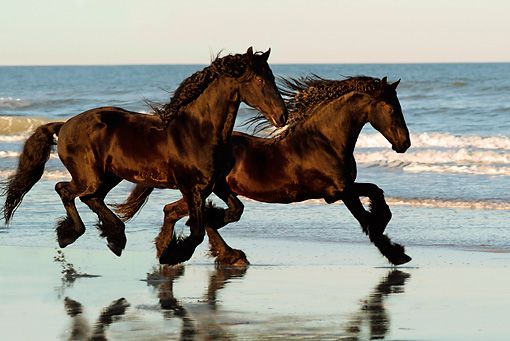 Two Friesian Horses galloping on the beach.