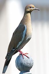 White-winged Dove - made famous in song sung by Stevie Nicks
