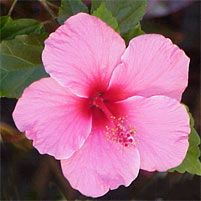 Hibiscus Plant Care Guide. Plant Care Guides :: National Gardening Association. #hibiscus #growinghibiscus