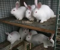 Kijiji: New Zealand White Meat Rabbits For Sale (37 Available)