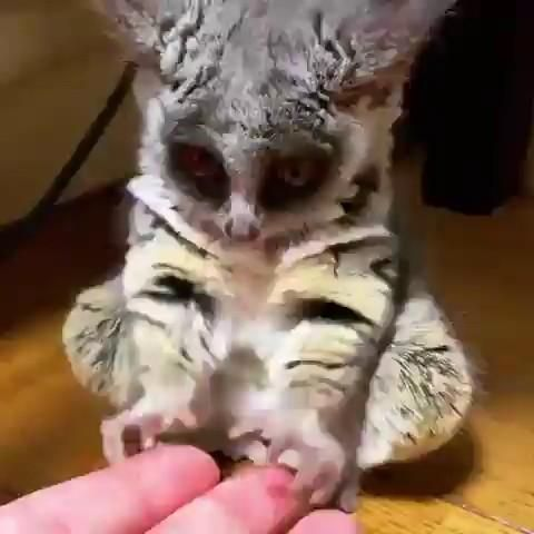 The movie Duma taught me to love Bush Babies. Video in ...