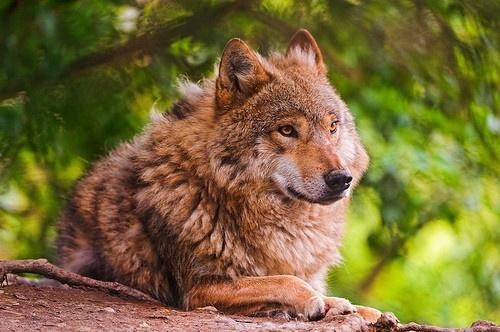 Help support Save wolves in Scandinavia  .