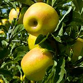 Dwarf Granny Smith Apple Trees for Sale | Fast Growing Trees