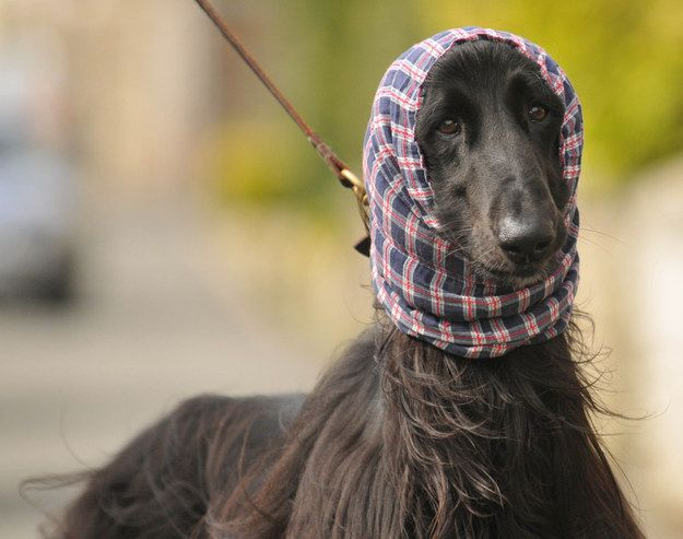 And that is the truth about Blackburn's famous dog in a snood. | Blackburn's Dog In A Snood Has Hollywood Celebrity Levels Of Swag