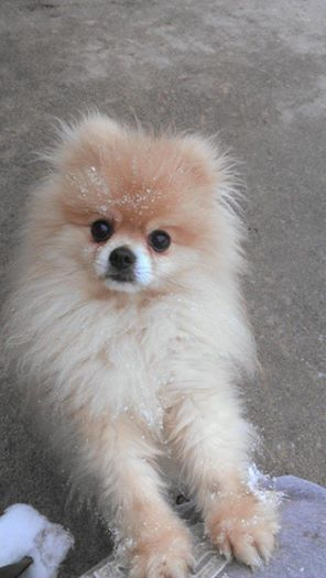 Meet Remus a Petfinder adoptable Pomeranian Dog | Rochester, NY | Meet Remus the Pomeranian.  He is about 3 years old, he is up to date on all his shot, rabies and...