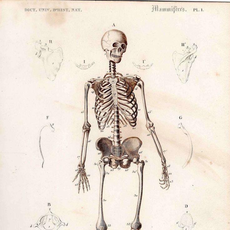 49 best images about skeleton illustrations on pinterest, Skeleton