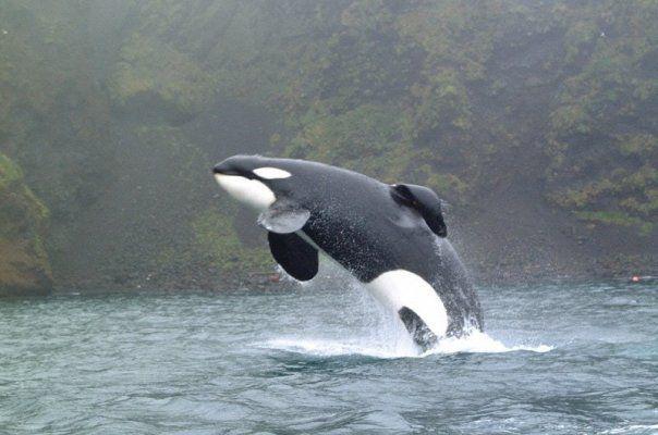 Keiko (1976-2003) fue una orca macho conocida mundialmente por su participación en la saga de películas ¡Liberen a Willy! (Free Willy).