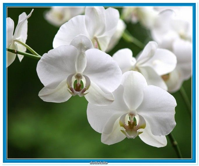133 best orchids and arrangements images on pinterest exotic white orchid flower meaning mightylinksfo