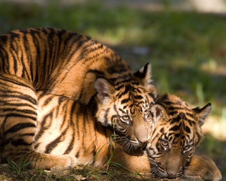 17 Best images about Animals on Pinterest | Tiger cubs ...