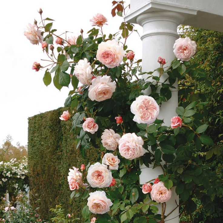 Rose A Shropshire Lad. Lovely, soft, peachy pink rosettes, with a strong, delicious fruity tea rose fragrance. Exceptionally vigorous, healthy and reliable. Almost thornless.