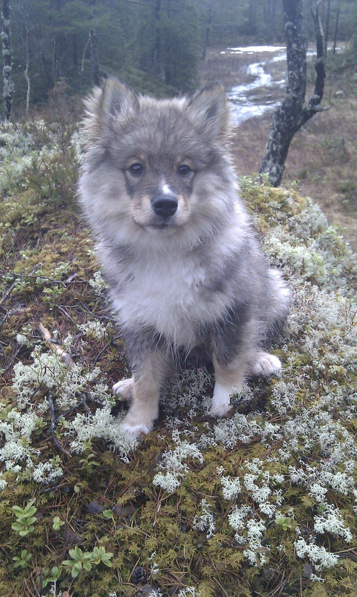 finnish lapphund - these dogs are so cute! too bad they're so rare in the US :[