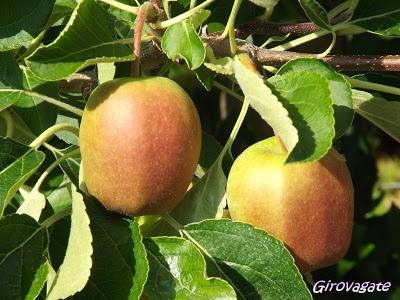 apples in Val di Non