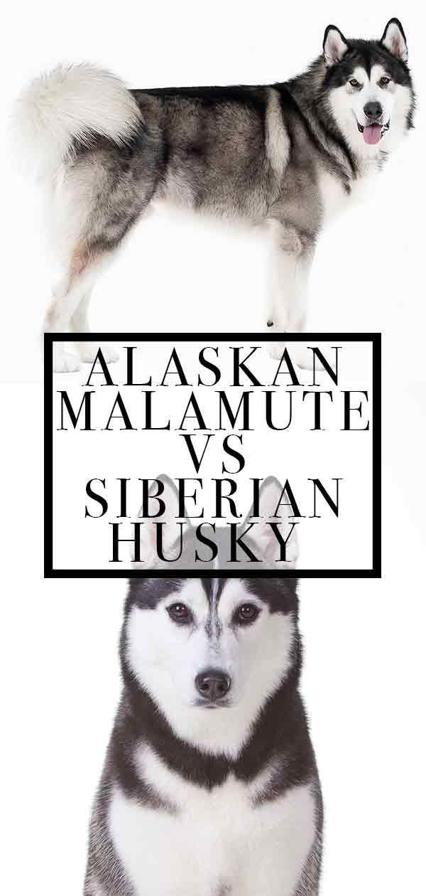 5 Irrefutable Reasons To Own A Siberian Husky Ideas Astounding