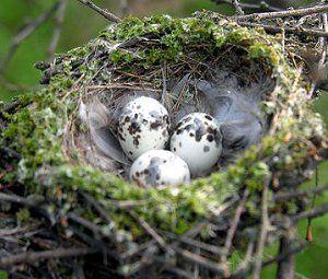 Gallery of Wild Bird Nests and Eggs: Vermilion Flycatcher Nest