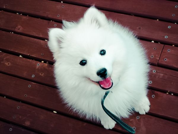 Sammy- Japanese Spitz  funkitten.com.au  We had one when I was a kid. We rescued him after I witnessed him being abandoned!