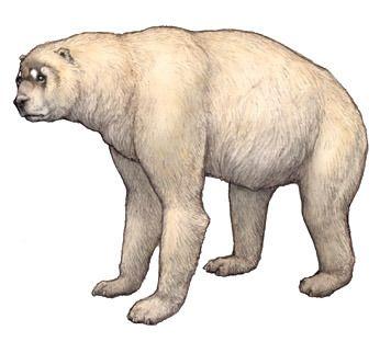 The giant short-faced Bear, Arctodus simus (1854) Phylum : Chordata Class : Mammalia Order : Carnivora Family : Ursidae Subfamily : Tremarctinae Genus : Arctodus Species : A. simus Subspecies : A.s. simus, A.s. yukonensis • Middle/late Pleistocene (3...