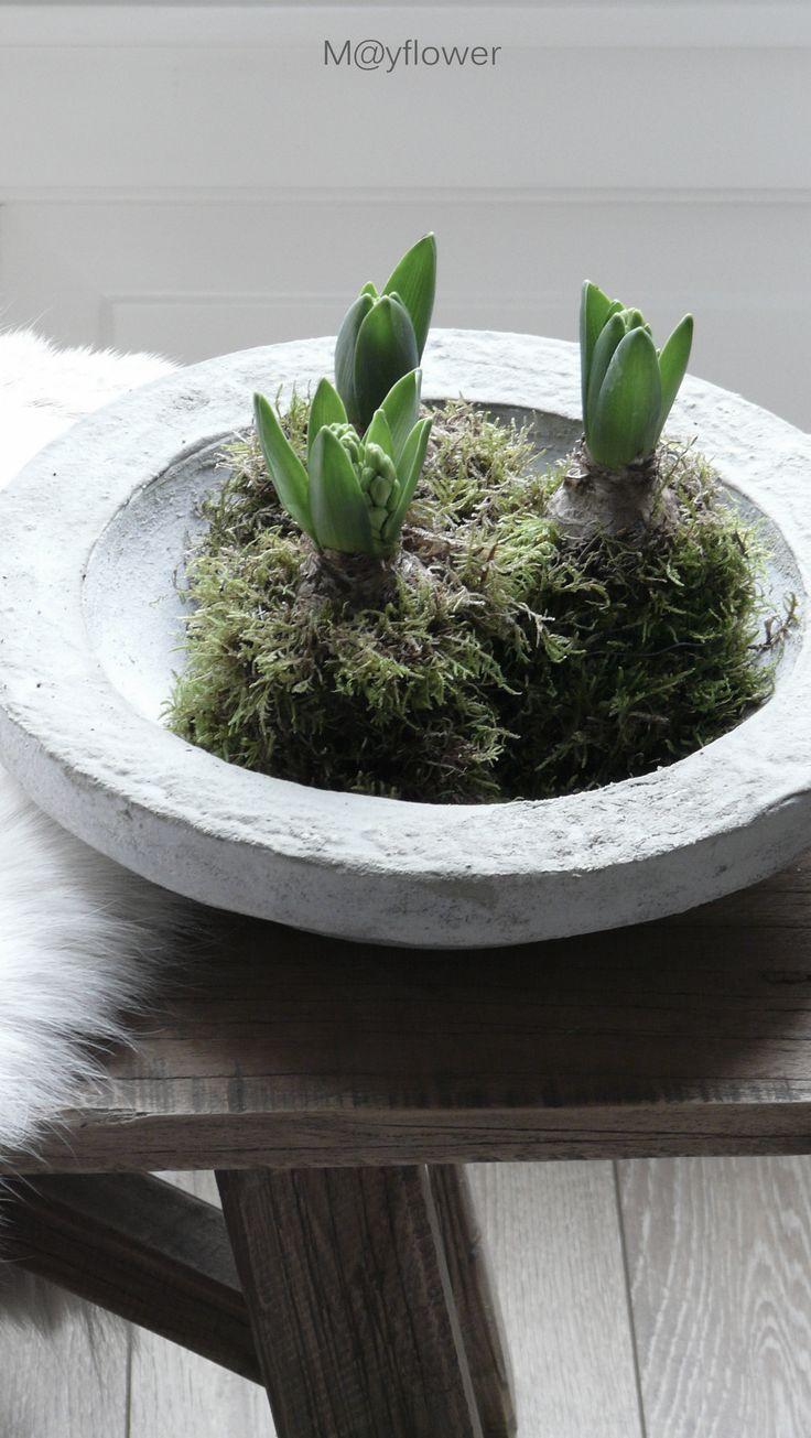 *Hyacinth Bulbs
