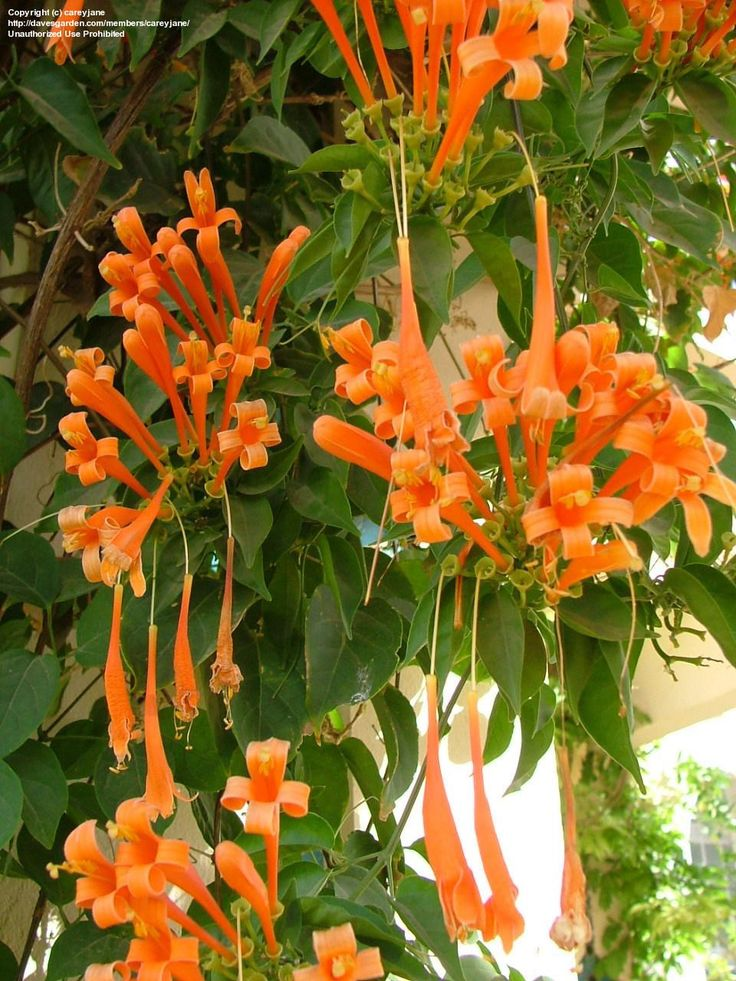 Orange Trumpet Creeper (Pyrostegia venusta) Spectacular terminal panicles of bright orange flowers on tropical evergreen climbing vine, grows 30-40 ft, full sun. Attracts hummingbirds, butterflies, bees. Can be pruned hard after a major flowering period, if you desire to keep it smaller. Propagate by semi-hardwood cuttings.