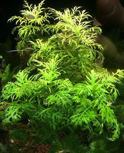 Rare Live Aquarium Plants - Hygrophila difformis Wisteria Water Sprite Live Aquarium Plants BUY 2 GET 1 FREE - http://www.petsupplyliquidators.com/rare-live-aquarium-plants-hygrophila-difformis-wisteria-water-sprite-live-aquarium-plants-buy-2-get-1-free/