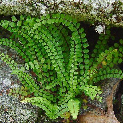 Asplenium trichomanes - fougère qui apprécie la mi-ombre , les sols humifères, bien drainés, plutôt grossiers et toujours un peu humides mais non gorgés d'eau. persistant
