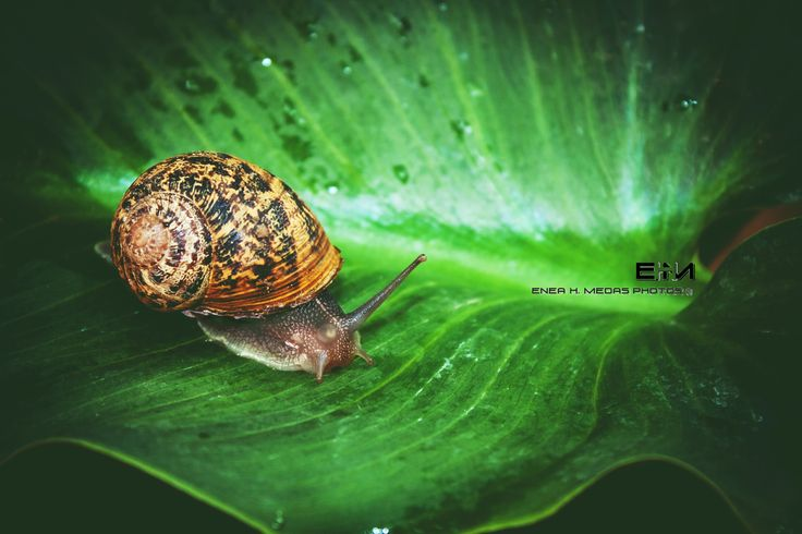 Snail - www.facebook.com/enea.mds