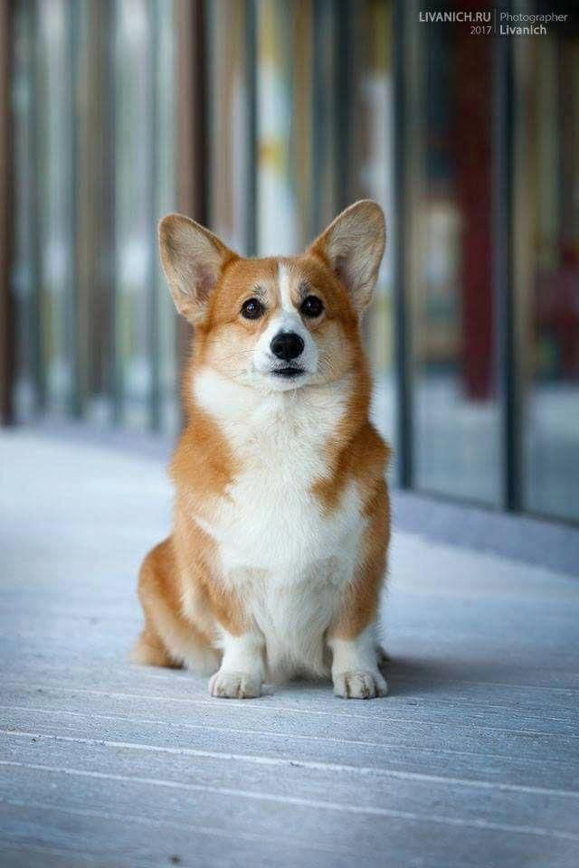 See Our Site For More Information On Corgis Dogs It Is A Great