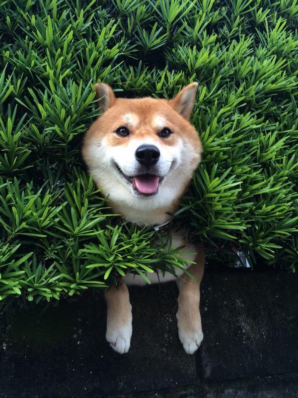 生け垣から柴犬が生えてたwwwwwwww