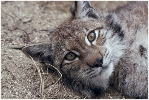 """The Eurasian lynx is the largest lynx species, It has powerful, relatively long legs, with large webbed and furred paws that act like snowshoes. It also possesses a short """"bobbed"""" tail with an all-black tip, black tufts of hair on its ears, and a long grey-and-white ruff."""