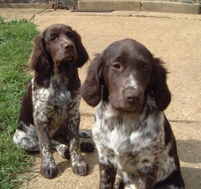 Small Munsterlander - looks like a spaniel AND a german short hair. Looks just like Ruger