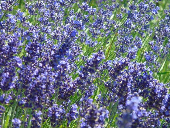 Snap and Share | LAVENDER BLOOMS - VISIT AND VOTE!! #Photography #Toronto #Canada150 #TravelPhotography #TorontoTourism #ExploreCanada #OntarioTravel #SnapShareTO #Flowerphotography #Lavendar #Garden #Park #Purple #Wedding #Happiness www.Elisheva.Photography