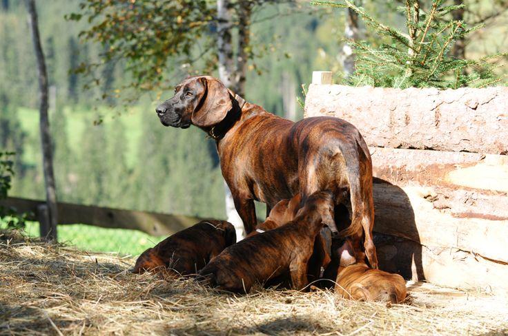 Hannoverscher Schweißhund (HANOVERIAN HOUND)