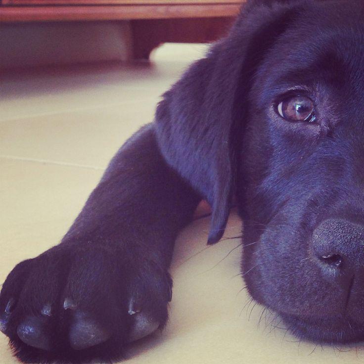 Ayla. Cachorro labrador negro