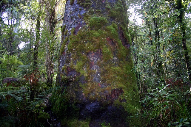 Moss only grows on old trees    Rimu Omahuta Forest Northland New Zealand