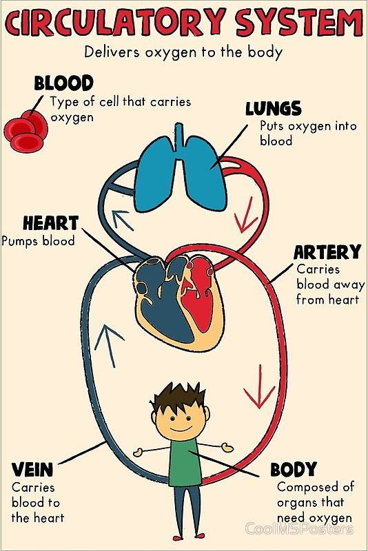 Middle School Anchor Chart Over The Circulatory System