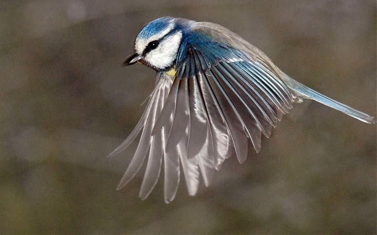 Mésange bleue en plein vol - VirusPhoto, apprendre la photo ensemble