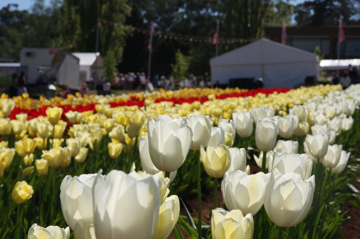 Tesselaars Tulip Festival, Victoria, Australia
