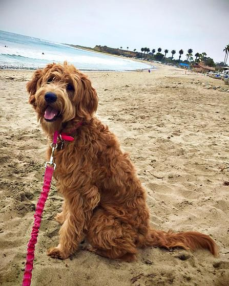 """I want a F1 or F1b goldendoodle from these people """"snickersdoodles"""" my friend Carly has one and she is perfect!"""