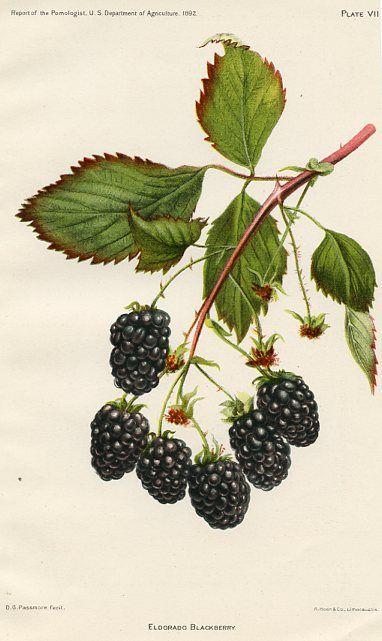 Eldorado Blackberry USDA Fruit Prints (United States , 1892)